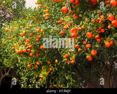 heavily laden ripe tangerine oranges on citrus trees in Valencia Spain - Stock Photo