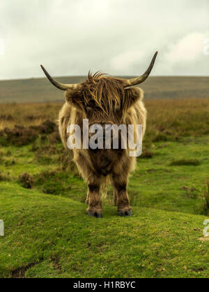 Highland cattle, grazing in the foreground within the Dartmoor National Park near Lettaford, Devon on a stormy autumn - Stock Photo