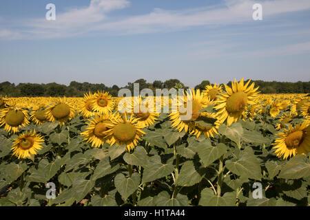 Sunflowers, commercial crop, Vendee, Marais Poitevin, France - Stock Photo