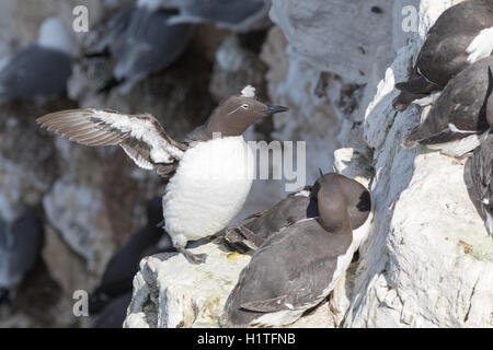 Guillemot on the cliffs at bempton cliffs breeding colony England - Stock Photo