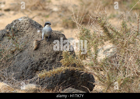 Southern Grey Shrike  (Lanius meridionalis) With a mouse - Stock Photo