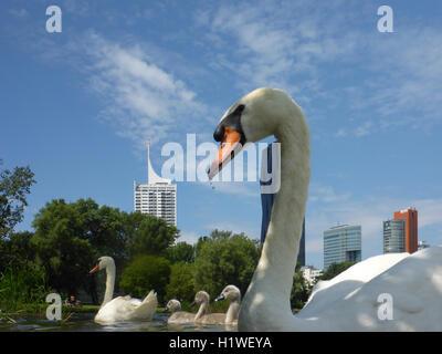 Wien, Vienna: family mute swan Cygnets (Cygnus olor) at lake Kaiserwasser, 22., Wien, Austria - Stock Photo