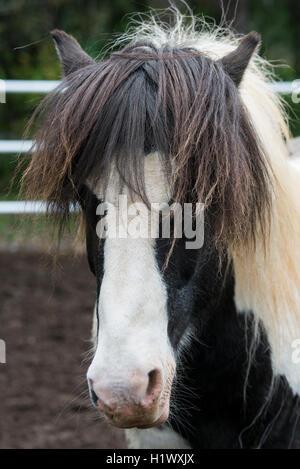 Southwestern Iceland, Reykjavik. Fridheima, countryside Icelandic horse ranch, one of the purest horse breeds in - Stock Photo