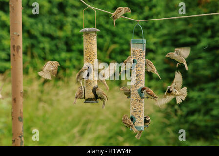Adult and juvenile house sparrows at a garden bird feeder - Stock Photo