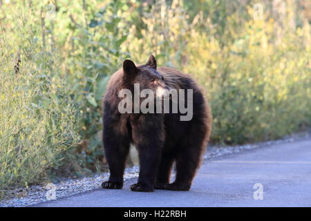 Black Bear  Glacier National Park, Montana USA Stock Photo