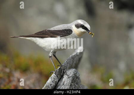 Northern wheatear (Oenanthe oenanthe), male with food, tundra, Lapland, Norway - Stock Photo