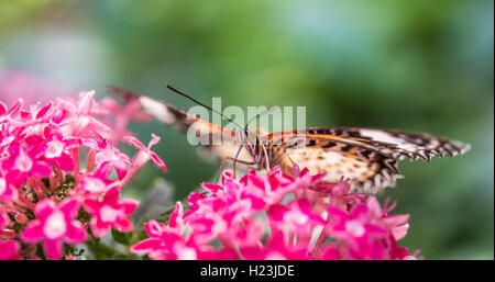 Brown or scarlet peacock (Anartia amathea) on flower, captive - Stock Photo