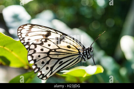 Paper kite, also large tree nymph or rice paper butterfly (Idea leuconoe), captive - Stock Photo