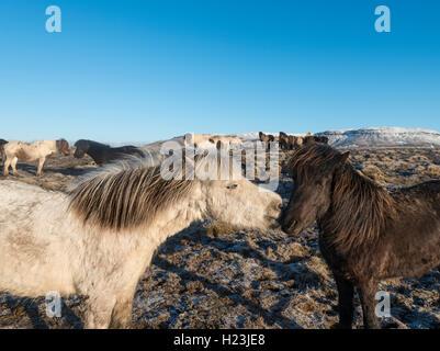 Two Icelandic horses (Equus przewalskii f. caballus), Southern Region, Iceland - Stock Photo