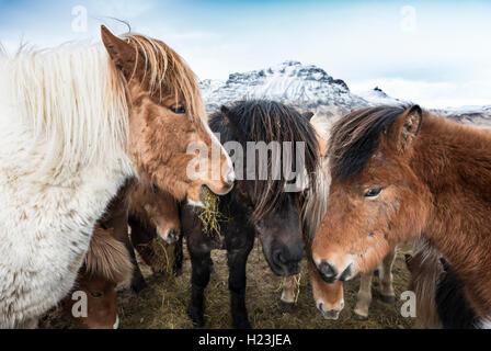 Icelandic horse (Equus przewalskii f. caballus), Southern Region, Iceland - Stock Photo