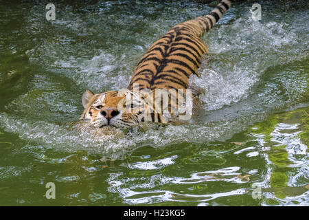 Amur Tiger (Panthera tigris altaica), swimming in a waterhole, captive, Leipzig, Saxony, Germany - Stock Photo