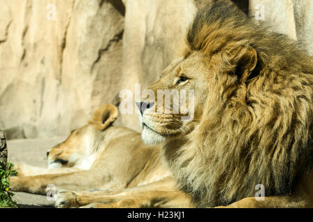 Male African lion (Panthera leo) is lying on the ground, captive, Dresden, Saxony, Germany - Stock Photo