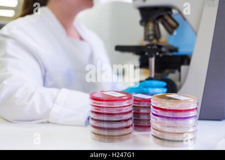 Technician using a microscope to study petri dish cultures. - Stock Photo