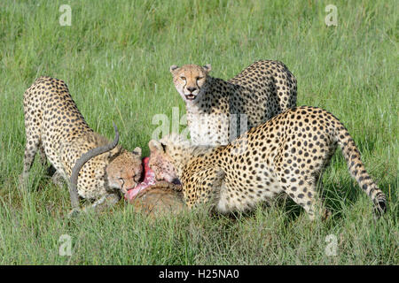 Cheetah (Acinonix jubatus) mother with two juveniles with just killed male impala (Aepyceros melampus), Maasai Mara, - Stock Photo