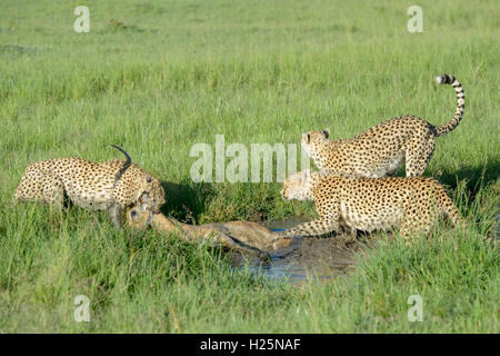 Cheetah (Acinonix jubatus) mother with two juveniles with just killed male impala (Aepyceros melampus), Maasai Mara, - Stock Photo