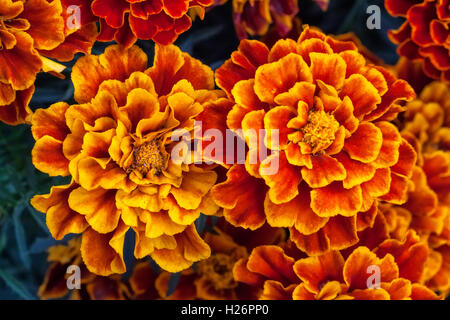 Big yellow marigold flowers in garden, top view - Stock Photo