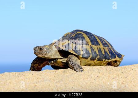 Hermann's Tortoise on a sandy beach close up - Stock Photo