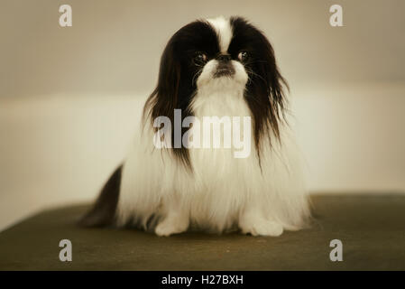 Black and white pekingese dog sitting on a green table. - Stock Photo