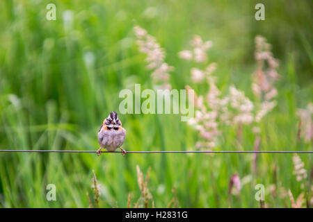 small sparrow on a wire in a field of tall grass looking at me - Stock Photo