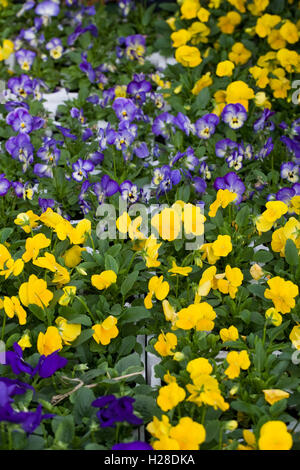 Blue and Yellow violas for sale. - Stock Photo