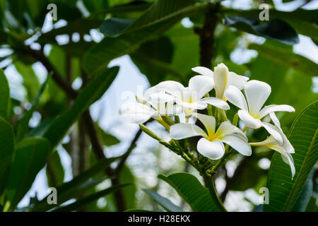 beautiful yellow tropical flowers from jamaica stock photo, Beautiful flower