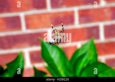 ORB SPIDER WRAPPING BEE - Stock Photo