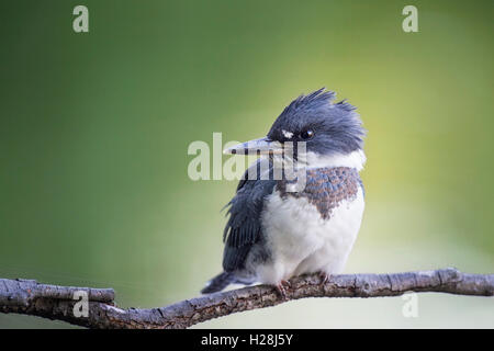 A young Belted Kingfisher sits on a small branch in front of a smooth green and yellow background in a very soft - Stock Photo