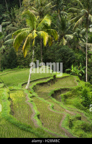Indonesia, Bali, Tampaksiring, Gunung Kawi, steep terraced rice paddy fields above temple complex - Stock Photo