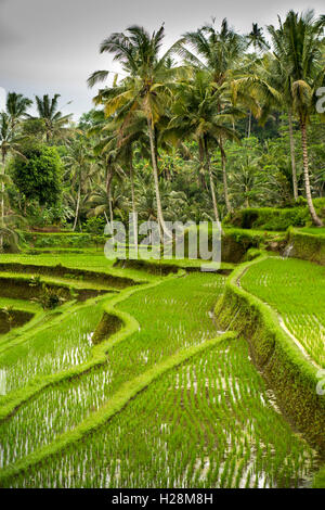 Indonesia, Bali, Tampaksiring, Gunung Kawi Temple complex, irrigated terraced rice fields - Stock Photo