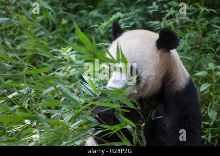 Panda bear is eating bamboo leaves at   Bifengxia National Panda Reserve in Sichuan, China - Stock Photo