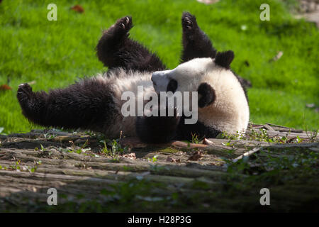 Giant panda bears are playing in their habitat at Bifengxia National Panda Reserve in Sichuan China - Stock Photo