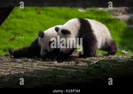 Two giant panda bears are playing in their habitat at Bifengxia National Panda Reserve in Sichuan China - Stock Photo