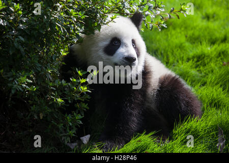 A giant panda bear is playing at Bifengxia National Panda Reserve in Sichuan China - Stock Photo