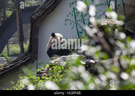 Panda bear eating bamboo leaves in his habitat at Bifengxia Panda Reserve in Sichuan, China - Stock Photo