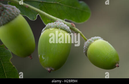 Rich in nutrients for wildlife, green acorns on an oak tree with leaves and droplets of rain, West Yorkshire, UK - Stock Photo