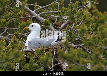 Common gull (Larus canus) sitting in nest on dwarf pine, Lapland, Norway - Stock Photo