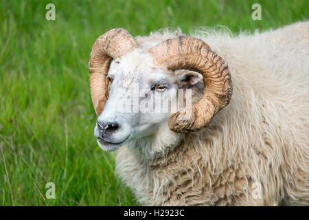 Icelandic sheep, portrait, Iceland - Stock Photo