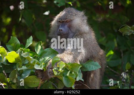 Anubis or olive baboon (Papio anubis) in tree, Lake Manyara National Park, Tanzania - Stock Photo
