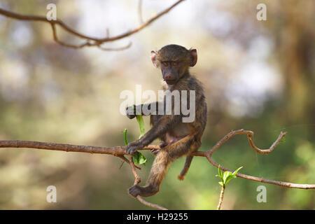 Anubis or olive baboon (Papio anubis), juvenile sitting on branch, Lake Manyara National Park, Tanzania - Stock Photo