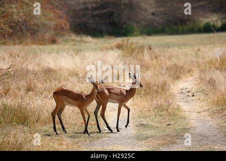 Impala (Aepyceros melampus), Lake Manyara National Park, Tanzania - Stock Photo