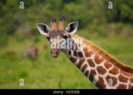 Maasai giraffe (Giraffa camelopardalis), portrait, Arusha National Park, Tanzania - Stock Photo