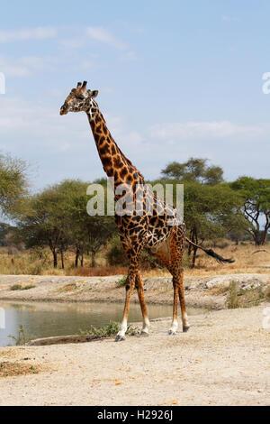Giraffe (Giraffa camelopardalis), male at waterhole, Tarangire National Park, Tanzania - Stock Photo