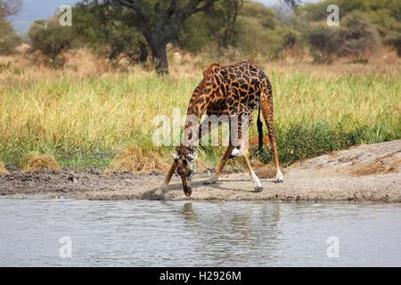 Giraffe (Giraffa camelopardalis), male drinking, Tarangire National Park, Tanzania - Stock Photo
