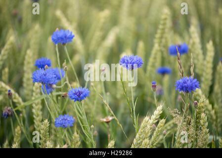 Cornflower (Centaurea cyanus) in wheat field (Triticum aestivum), Baden-Württemberg, Germany - Stock Photo