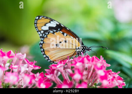 Monarch butterfly (Danaus plexippus) on pink flower, captive - Stock Photo