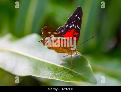 Brown or scarlet peacock (Anartia amathea) on leaf, captive - Stock Photo