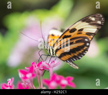 Xanthocles longwing (Heliconius xanthocles) sitting on pink flower, captive - Stock Photo