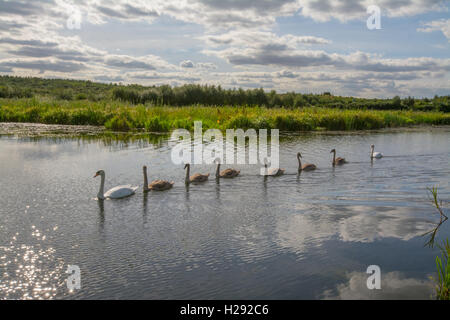 Family of swans and cygnets swimming in a line along the Basingstoke Canal, Hampshire, England - Stock Photo