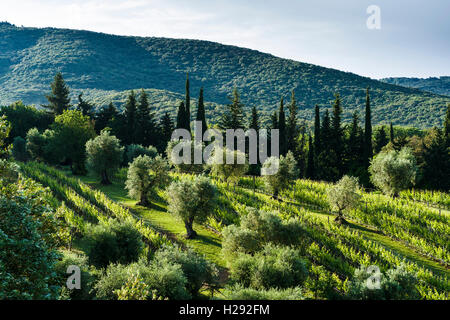 Green landscape of olive trees and vineyards close to each other ...