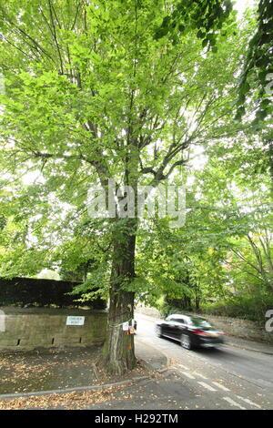 The Chelsea Road elm in Nether Edge, Sheffield. Mature elm earmarked for felling, host to white letter hairstreak - Stock Photo